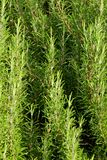 Green rosemary in southern Italy Royalty Free Stock Photography