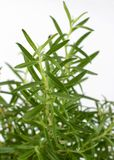 Green rosemary on a white background. The smell of fresh rosemary sprigs improves human memory.  Stock Photography