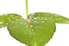 Green roses leaves with waterdrops Stock Images