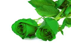 Green roses on white background Stock Photography