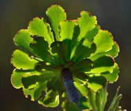 Green rosette of aeonium stock images