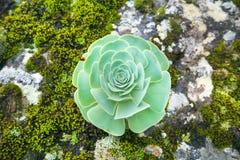 Green rosettes of succulent Aeonium arboreum stock photography
