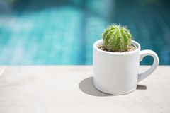 Green round cactus in white ceramic cup over blurred blue water background. Outdoor day light Stock Photo
