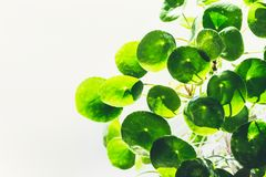 Green Round Circle Leaves Of Chinese Money Plant Missionary Plant On Light Background. Stock Photo
