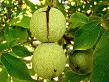 Green Round Fruit Macro Shot Photography Stock Images