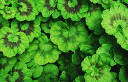 Green round leaves background. Vintage tone. Middle blurred. royalty free illustration