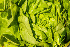 Green round lettuce, Lactuca sativa. Close up. Royalty Free Stock Photo