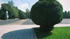 Green round tree. A tree next to Panfilov park in Bishkek Royalty Free Stock Image