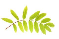 Green Rowan leaf Royalty Free Stock Photos