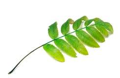 Green rowan leaf on white background Royalty Free Stock Photos