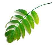 Green rowan leaves Stock Photos