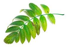 Green rowan leaves Royalty Free Stock Photo