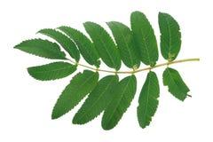 Green rowan tree leaf Royalty Free Stock Image
