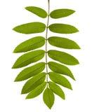 Green Rowan tree leaf Royalty Free Stock Photography