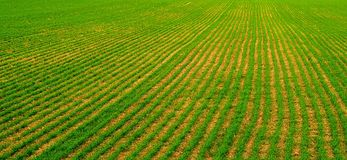 Green rows. Field of young green plants in a row Royalty Free Stock Photography