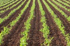 green rows grönsaker Arkivbild