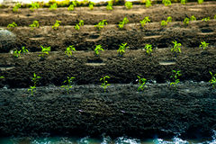 Green rows of growing cereals. Rows of growing cereal sprouts in black soil in agricultural field Stock Photo