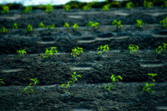 Green rows of growing cereals. Rows of growing cereal sprouts in black soil in agricultural field Stock Photography