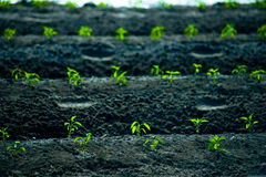 Green rows of growing cereals. Rows of growing cereal sprouts in black soil in agricultural field Royalty Free Stock Photography