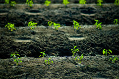 Green rows of growing cereals Stock Photo