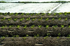 Green rows of growing cereals. Rows of growing cereal sprouts in black soil in agricultural field Stock Images