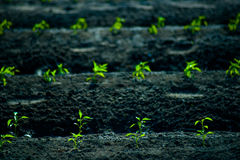 Green rows of growing cereals. Rows of growing cereal sprouts in black soil in agricultural field Royalty Free Stock Photos