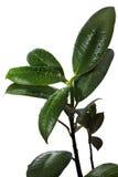 Green  rubber plant Stock Photos