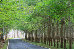 Green rubber trees tunnel on the road Royalty Free Stock Photos