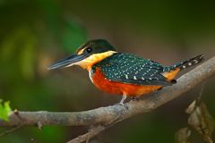 Green-and-rufous Kingfisher, Chloroceryle inda, green and orange bird sitting on tree branch, bird in nature habitat, Baranco Alto Royalty Free Stock Photo