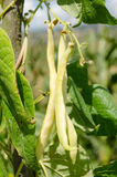 Green runner beans growing plant Royalty Free Stock Image