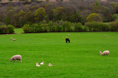 Green Rural field with sheep and pony, Brecon Beacons National Park, Wales, UK Stock Images