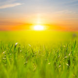 Green rural field at the sunset. Beautiful green rural field at the sunset Royalty Free Stock Photo