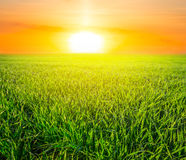Green rural fields at the sunset Royalty Free Stock Images