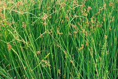 Green rushes of the bank of a creek Royalty Free Stock Images