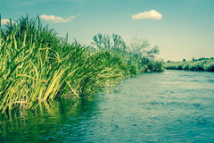 Green rushes by the lake Royalty Free Stock Photography