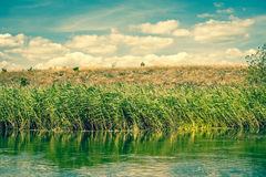 Green rushes by a riverside Royalty Free Stock Photo
