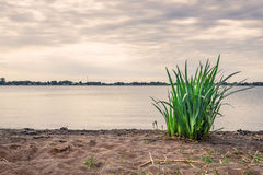 Green rushes on a sandy beach Stock Photography