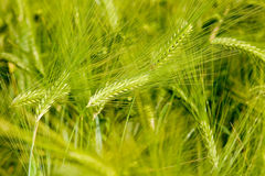 Green rye Royalty Free Stock Image