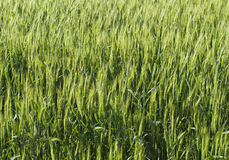 a  green   rye Stock Image