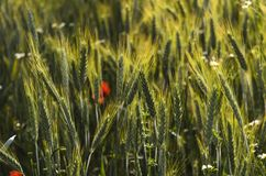 Green rye. Blurred detail of fresh green rye available for background Royalty Free Stock Photos
