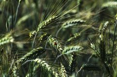 Green rye. Blurred detail of fresh green rye available for background Stock Photography