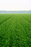 Green rye background Royalty Free Stock Photo