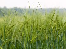 Green rye with blurred background Royalty Free Stock Photos