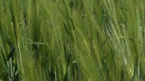 Green rye. Close-up of unripe rye ears swaying in the wind stock footage