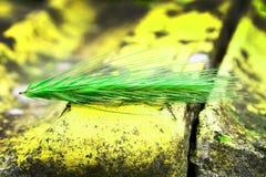 Green rye ear Stock Photos