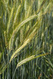 Green rye ears in close-up Royalty Free Stock Image