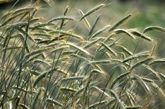 Green rye ears. On the farm field weight gaining green rye Stock Images