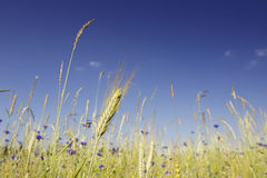 Green rye ears in the field on a blue sky background. Rye and blue wild flowers in sunny summer day Royalty Free Stock Photo