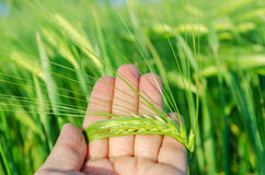 Green rye in farmers hand Royalty Free Stock Image