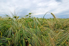 Green rye on the field. Stock Photography